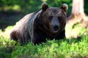 Bear from Marinselkosen in Finland