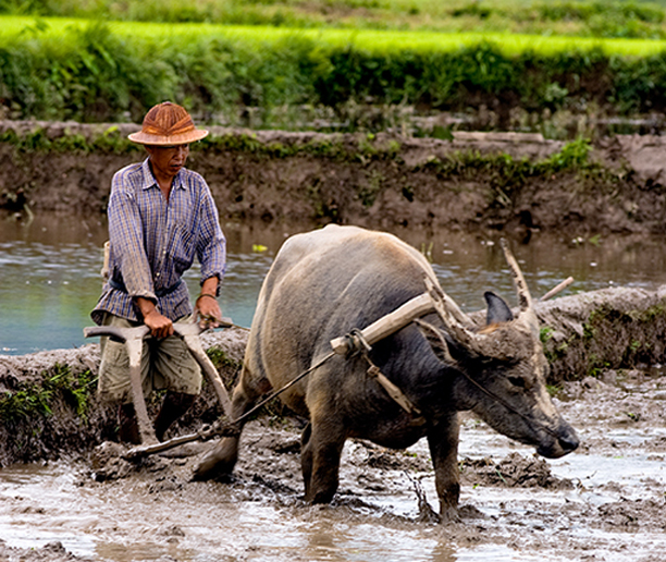 Farmer on the ricefields uotside Hsipaw