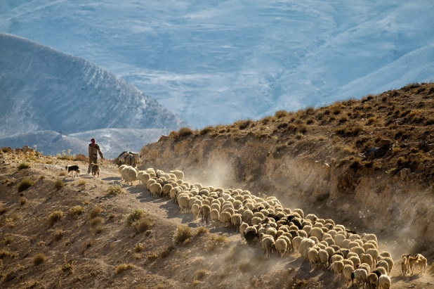 A man and his sheeps in Dana